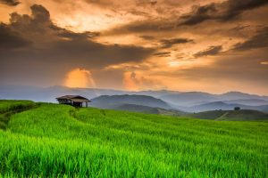 Paddy Green in the sunset, Chiangmai province of Thailand